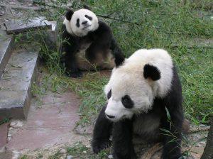 panda care china