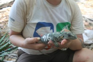 iguana-processing-ctenosaura-bakeri