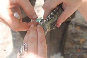 iguana-tagging-ctenosaura-bakeri