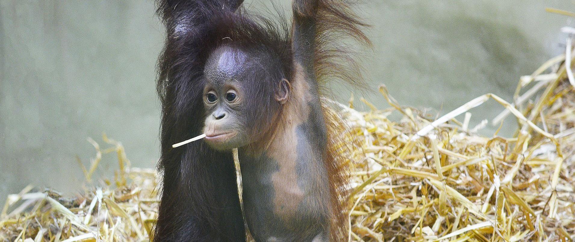 orangutan-internship