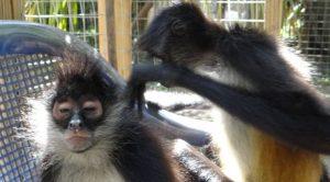 Primate rehab in belize