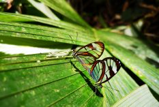 Glass buterflies in the reserve