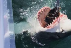 Great White taking the bate