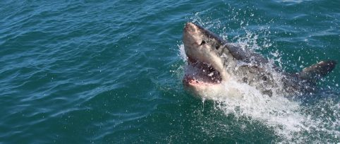 Great white shark project South Africa